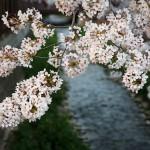 Cherry Blossom Festival – Beautiful Flowers in Jinhae, Korea 2012