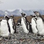 Magellanic Penguins On Martillo Island near Ushuaia, Argentina