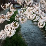 Cherry Blossom Festival – Beautiful Flowers in Jinhae, Korea 2012