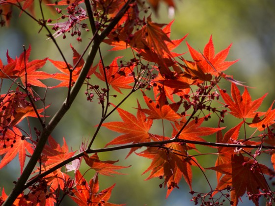 Red Maple in Korea