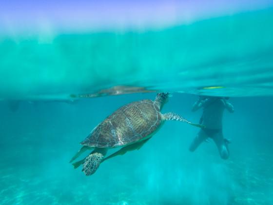 Sea Turtle surfacing in Akumal, Yucatan - Mexico