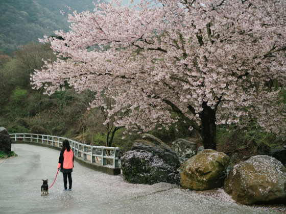 Cherry tree in full bloom in Masan, South Korea